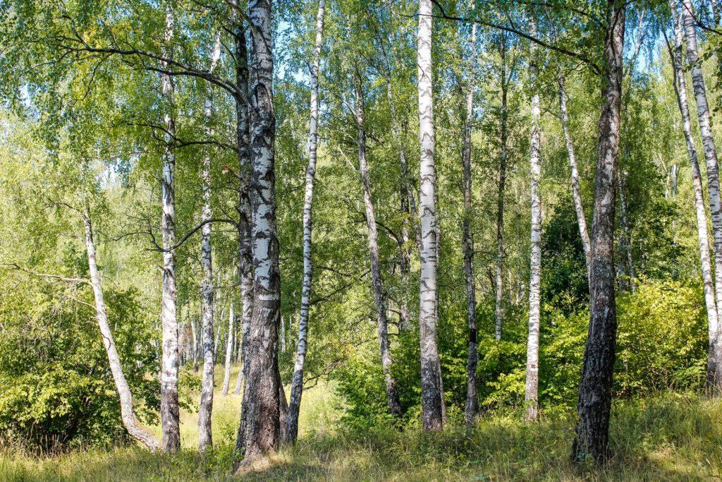 z cyklu dzikie rosliny lecznicze. brzoza czyli drzewko posiwiale.
