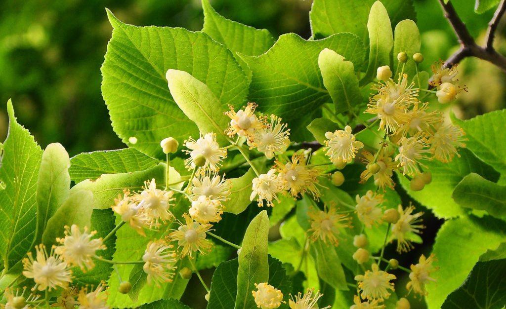 z cyklu dzikie rosliny lecznicze.lipa