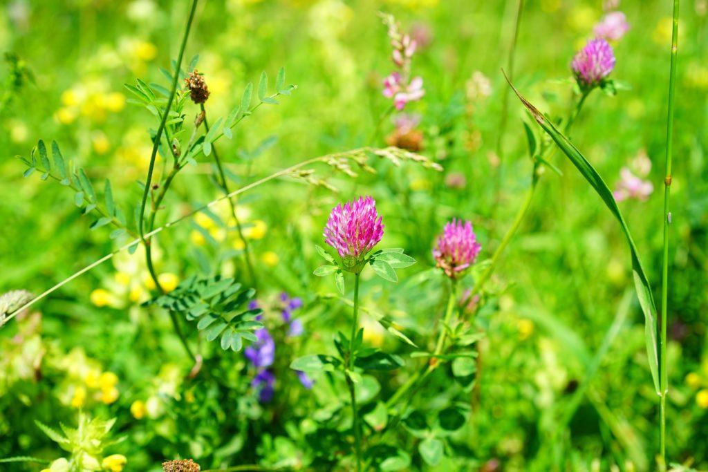 z cyklu dzikie rośliny lecznicze