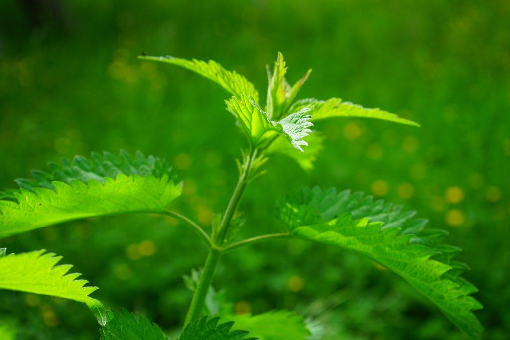 z cyklu dzikie rosliny lecznicze.Pokrzywa czyli doskonalosć